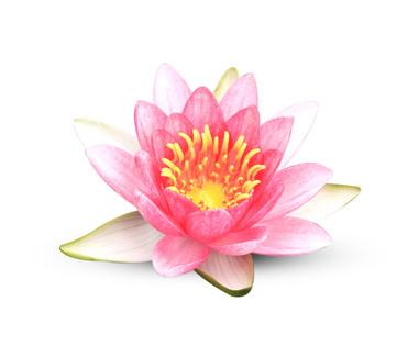 Lotus flower fragrance oil plush folly lotus flower fragrance oil mightylinksfo