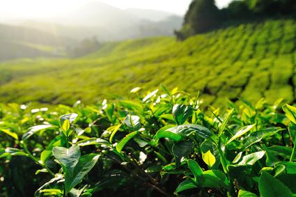 Tobacco Leaf Fragrance Oil