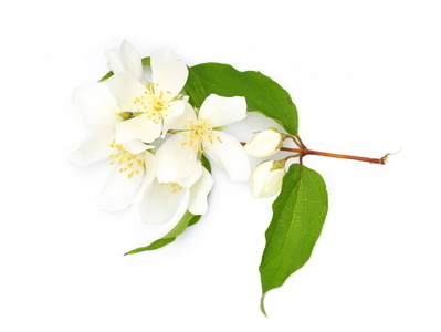 Mock Orange Fragrance Oil